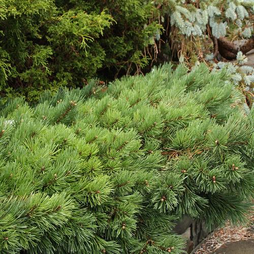Albyn dwarf Scots pine