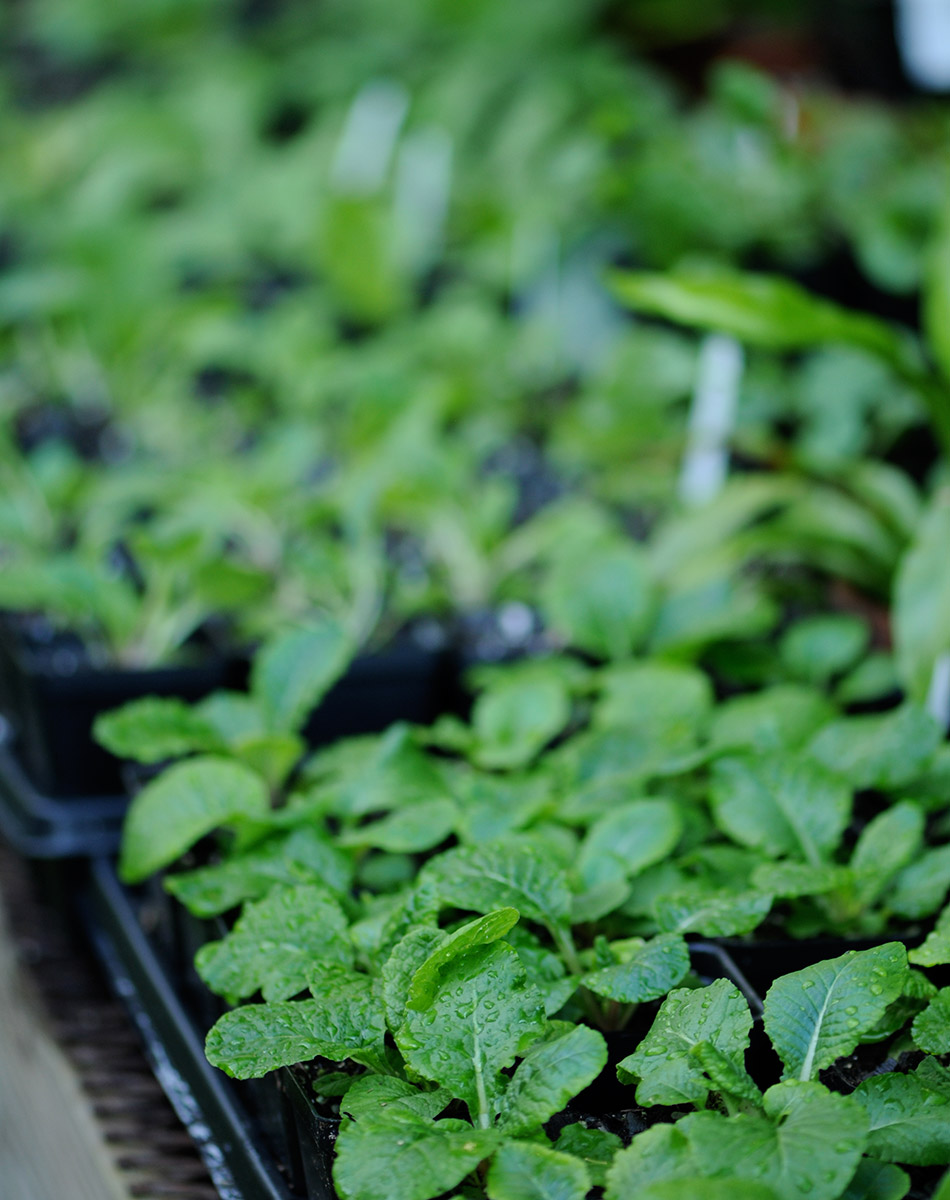 Primroses growing from seed