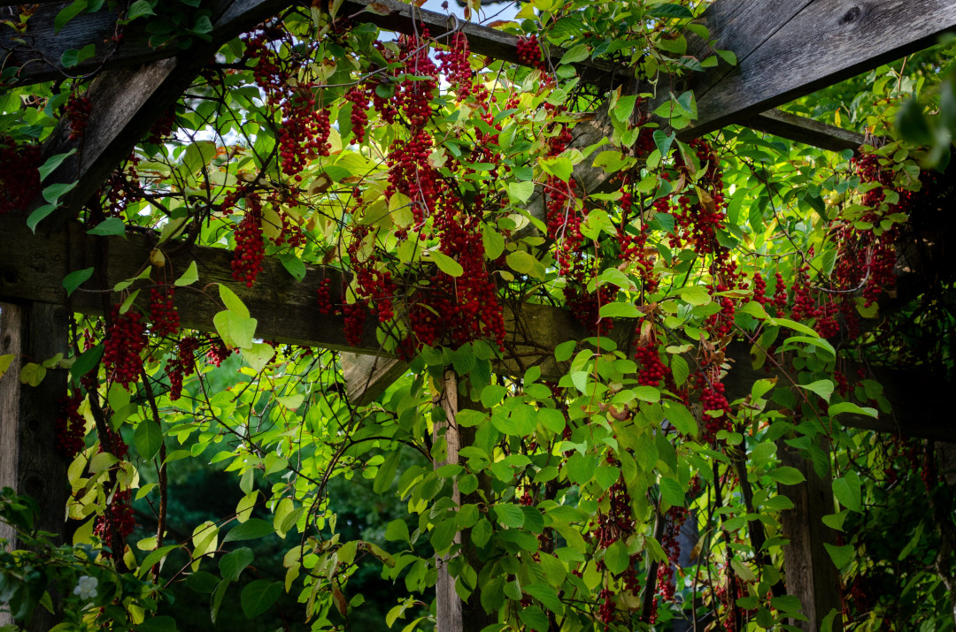 Chinese magnolia vine