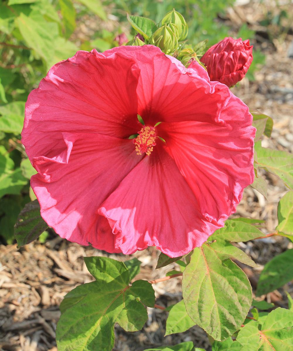 Jazzberry Jam hardy hibiscus