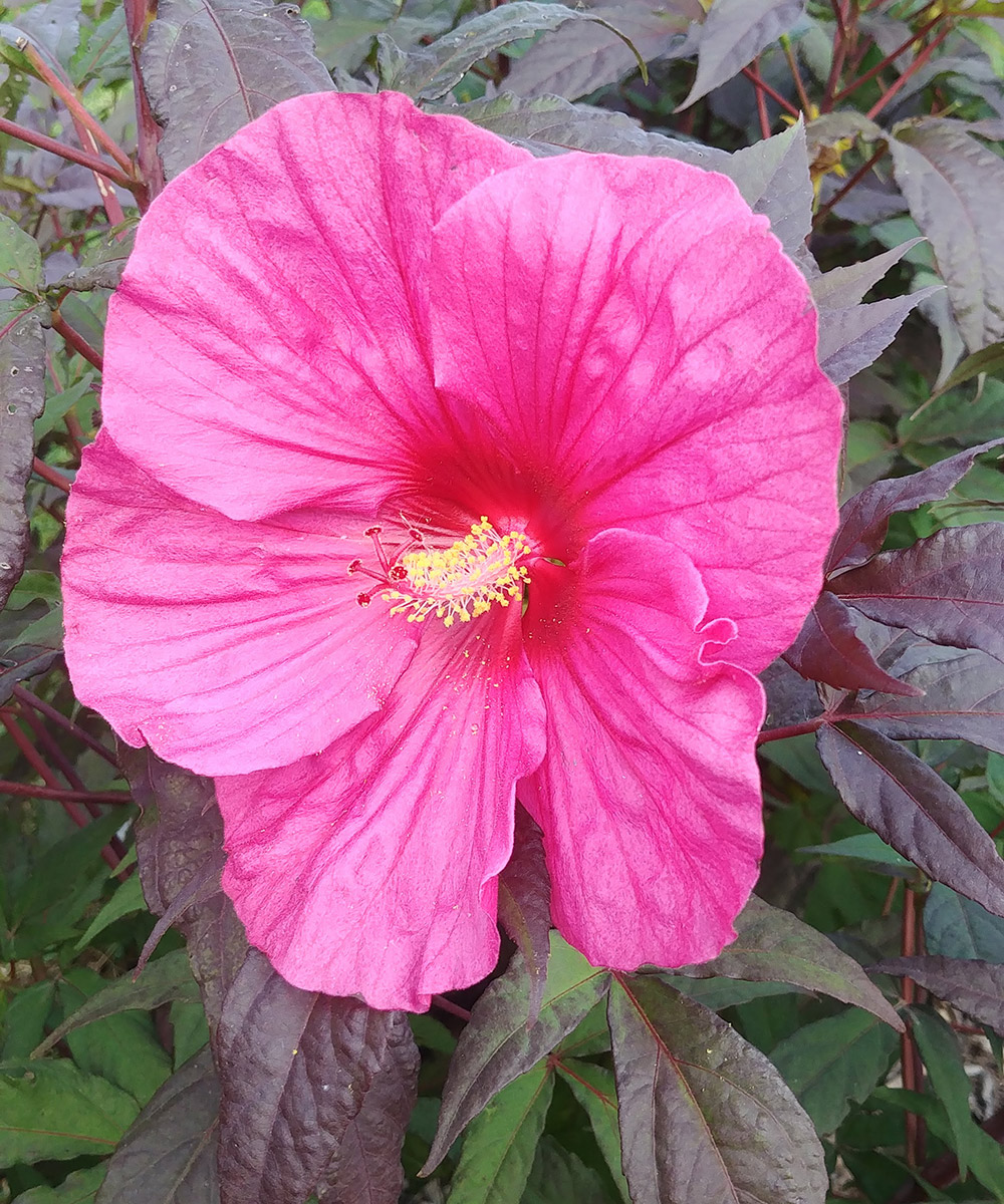 Evening Rose hardy hibiscus