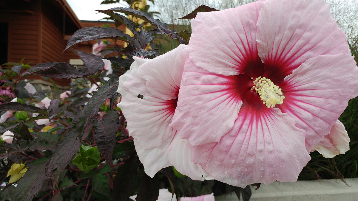 Summer Storm hardy hibiscus