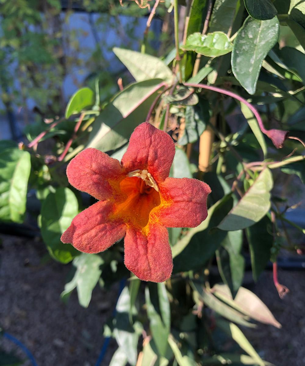 Tangerine Beauty crossvine