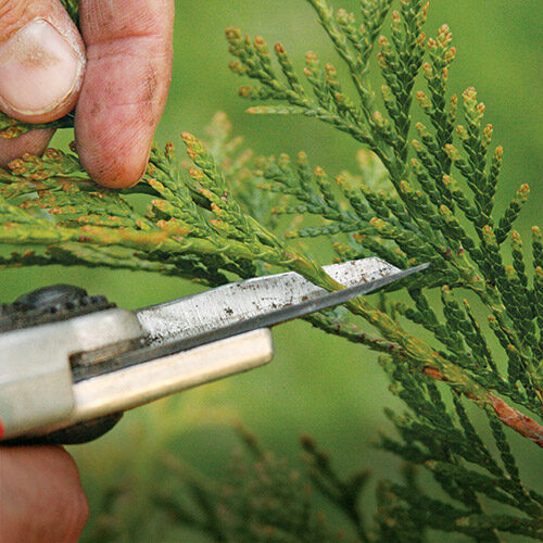 pruning arborvitae