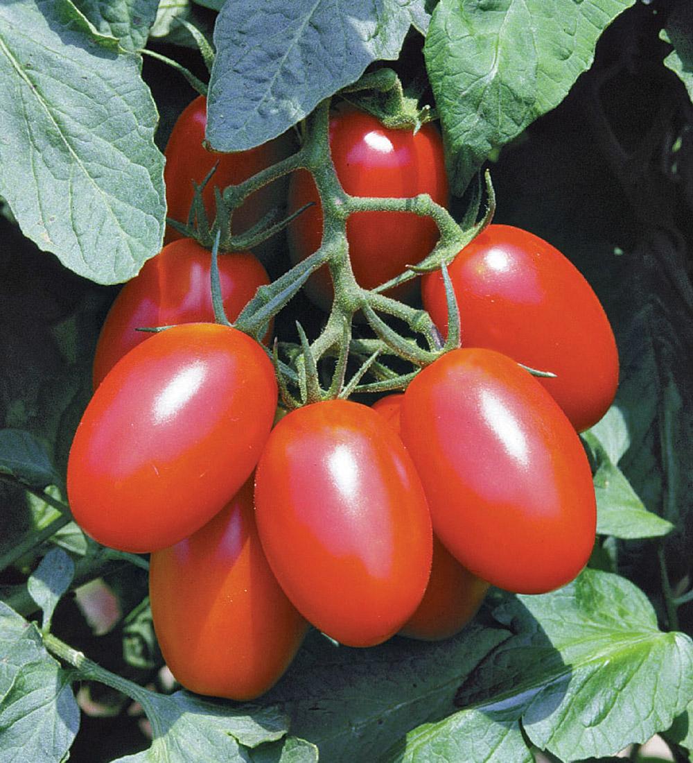 Juliet tomato