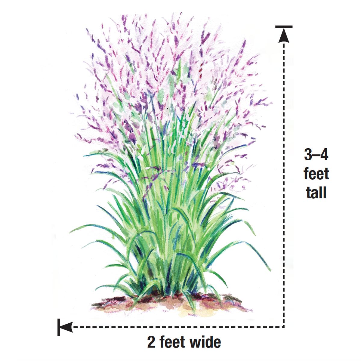 'Purple Tears' switchgrass