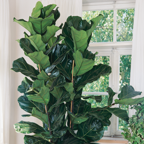 Fiddle-Leaf Figs Aren't That Fussy