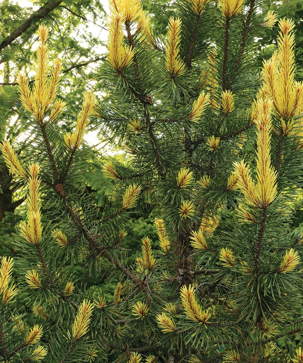 Taylor's Sunburst Lodgepole Pine