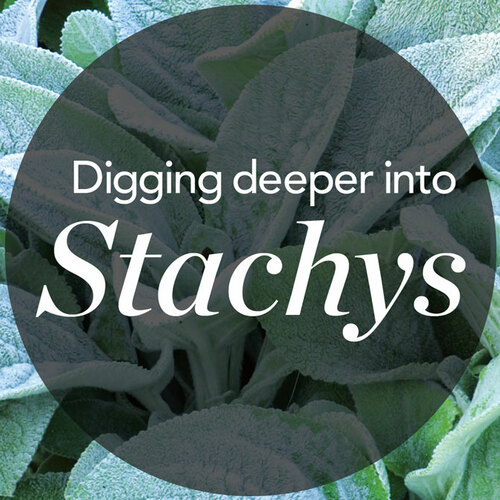 Stachys plant trial: which ones were best?