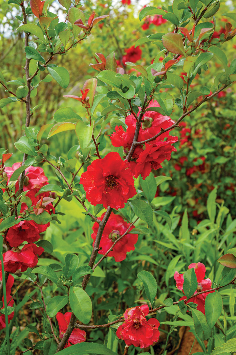 'Scarlet Storm' Flowering Quince