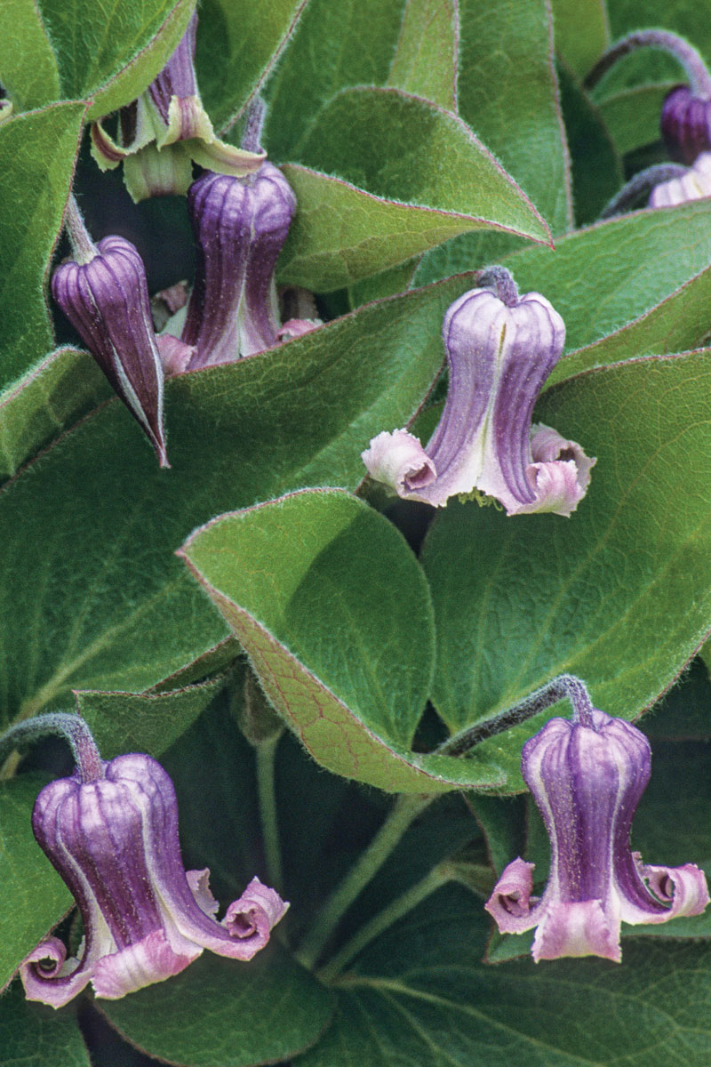 Fremont's Leather Flower
