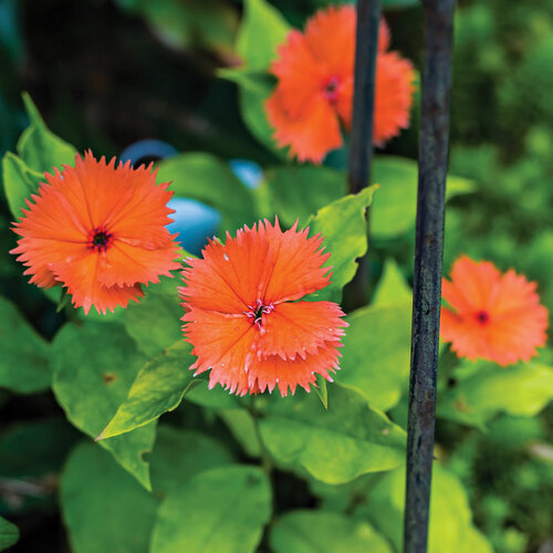 'ORANGE SHERBET' CHINESE LYCHNIS