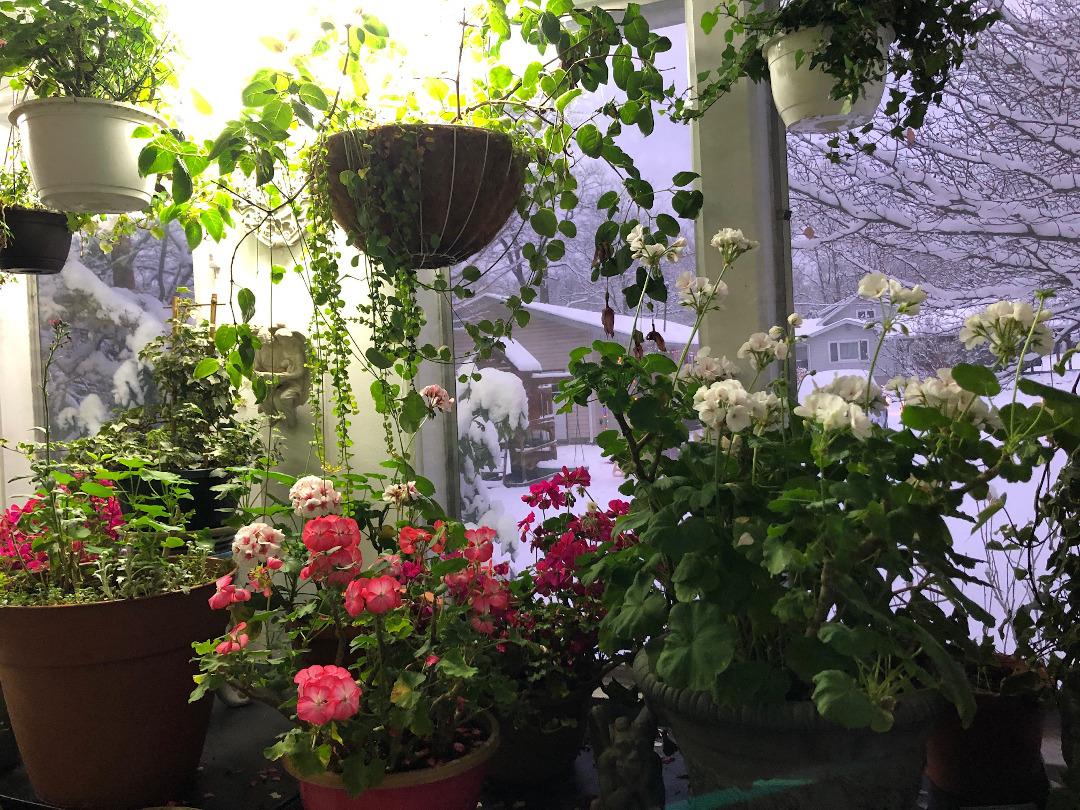 Geraniums as house plants