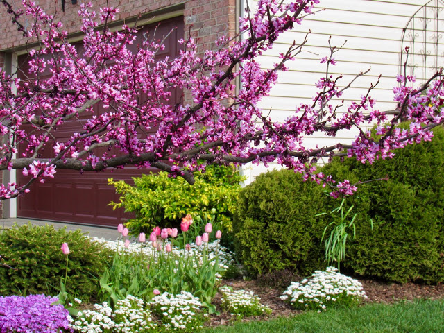 Forest Pansy redbud tree
