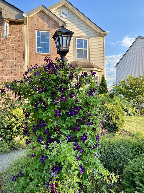 clematis on a lamp post