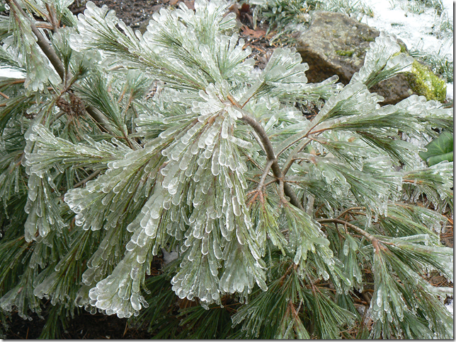 ice covered Bosnian pine