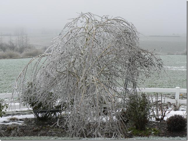 jacquemontii birch