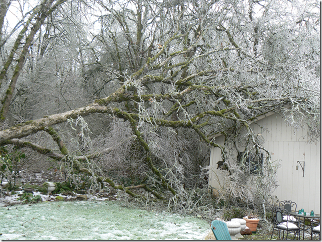 old oak covered in ice