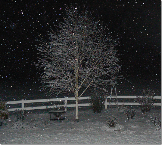 jacquemontii birch in snow at night