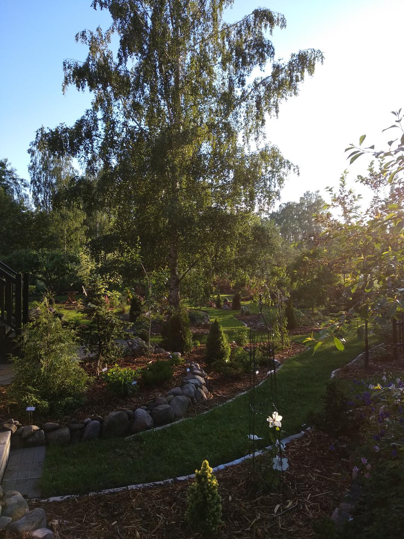 garden beds around a large birch tree
