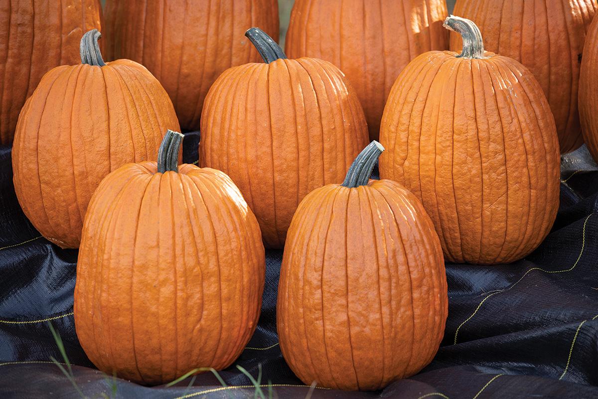 Igor pumpkin