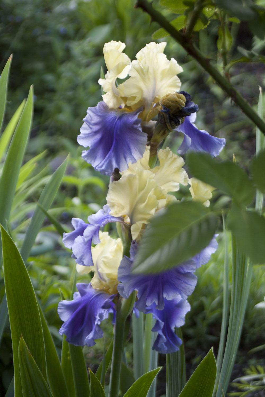 purple and yellow irises