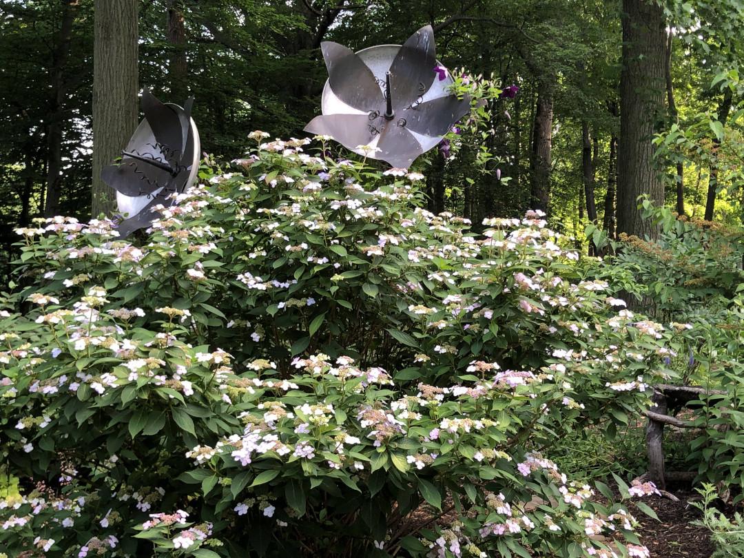 huge hydrangea shrub