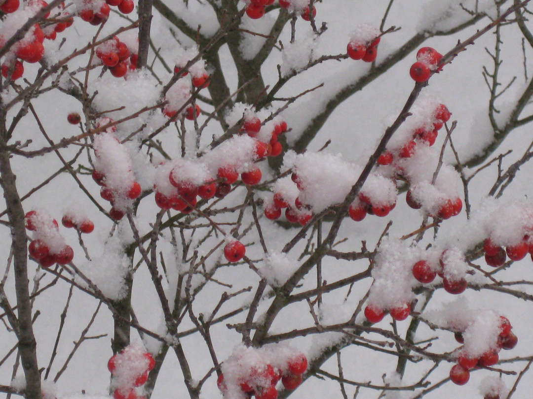 Winterberry covered in snow