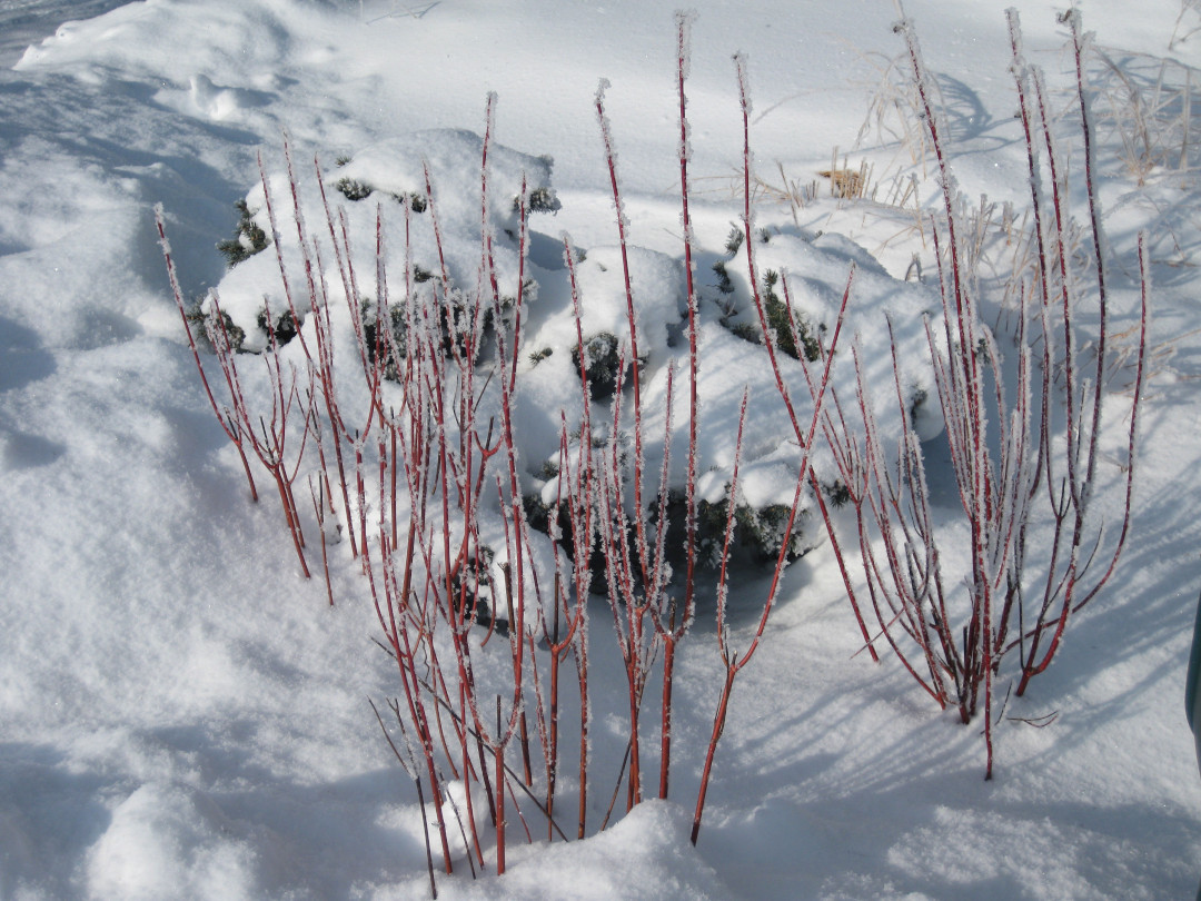 red-twig dogwood in snow