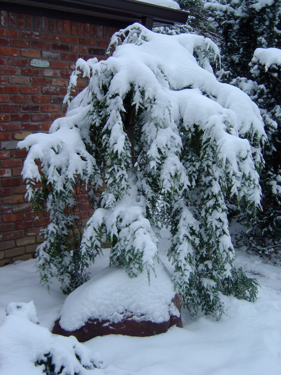 weeping hemlock covered with snow