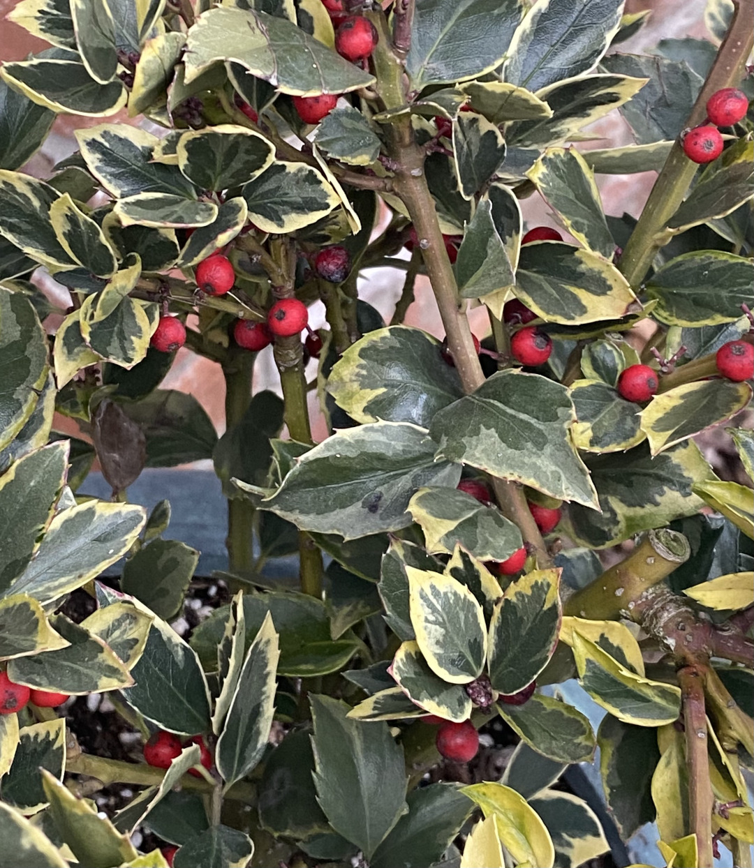 Holly shrub with red berries