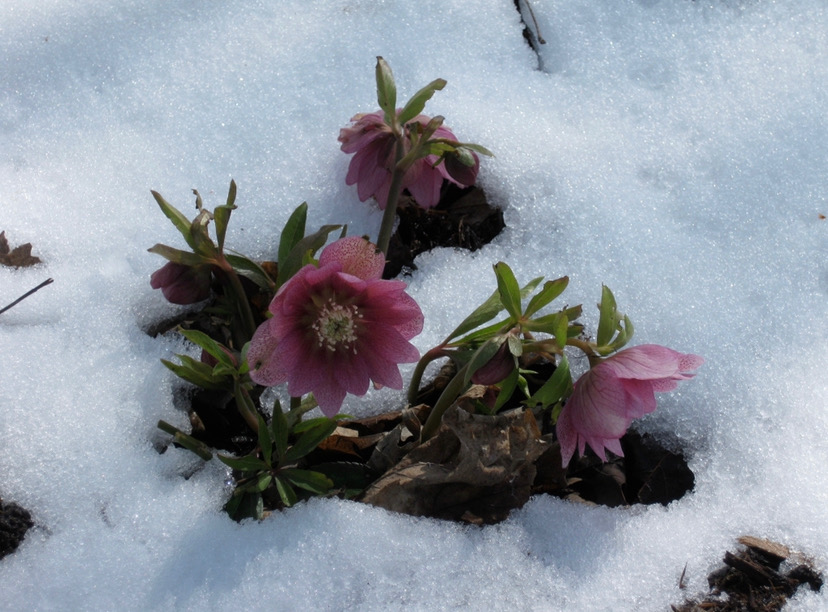 hellebores poking up out of the snow