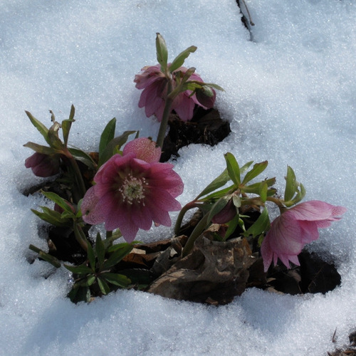 Pink flowers poking up out of the snow