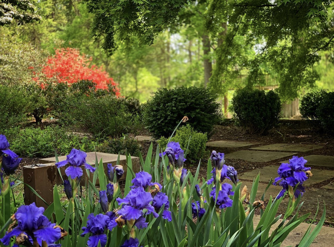 Blue iris flowers with trees and shrubs behind them