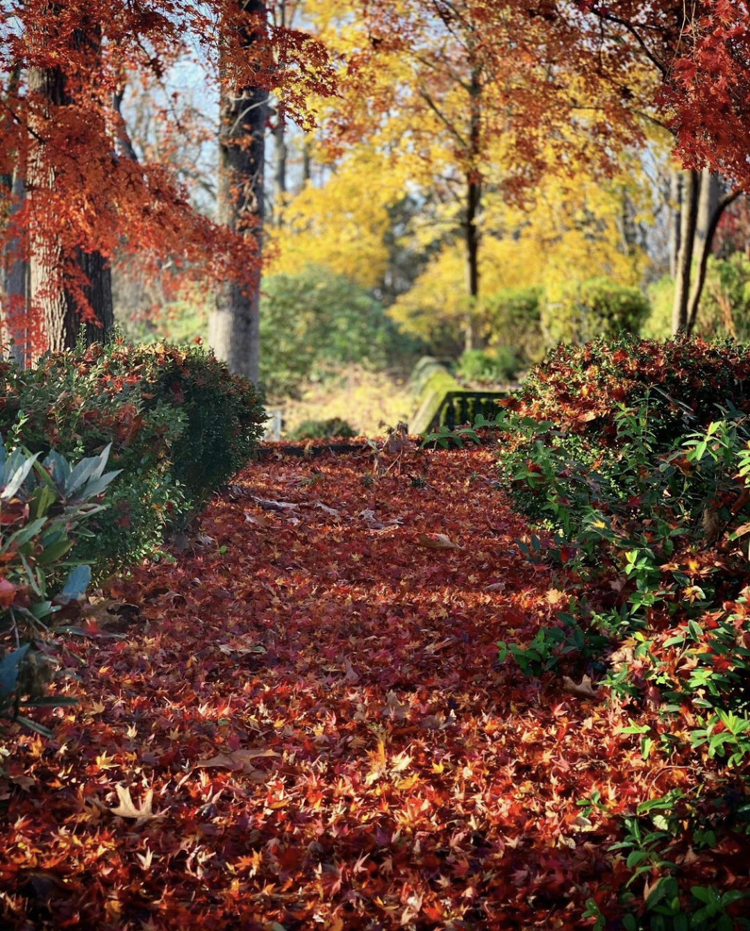 A pathway covered with fallen red leaves