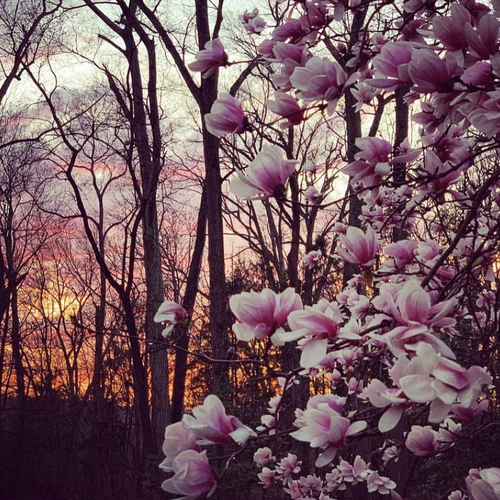 Pink magnolia blossoms against a bright sunset