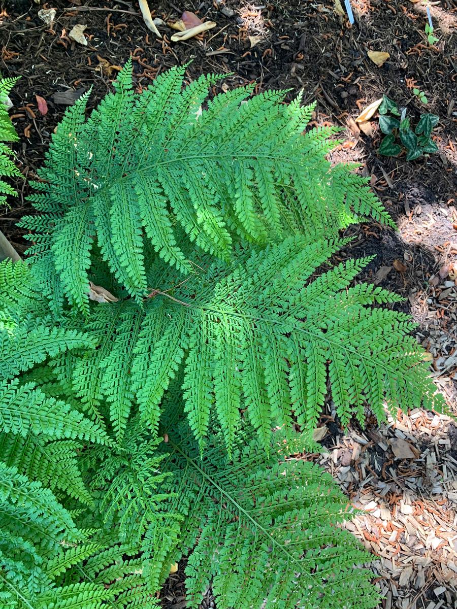 Upside-down fern