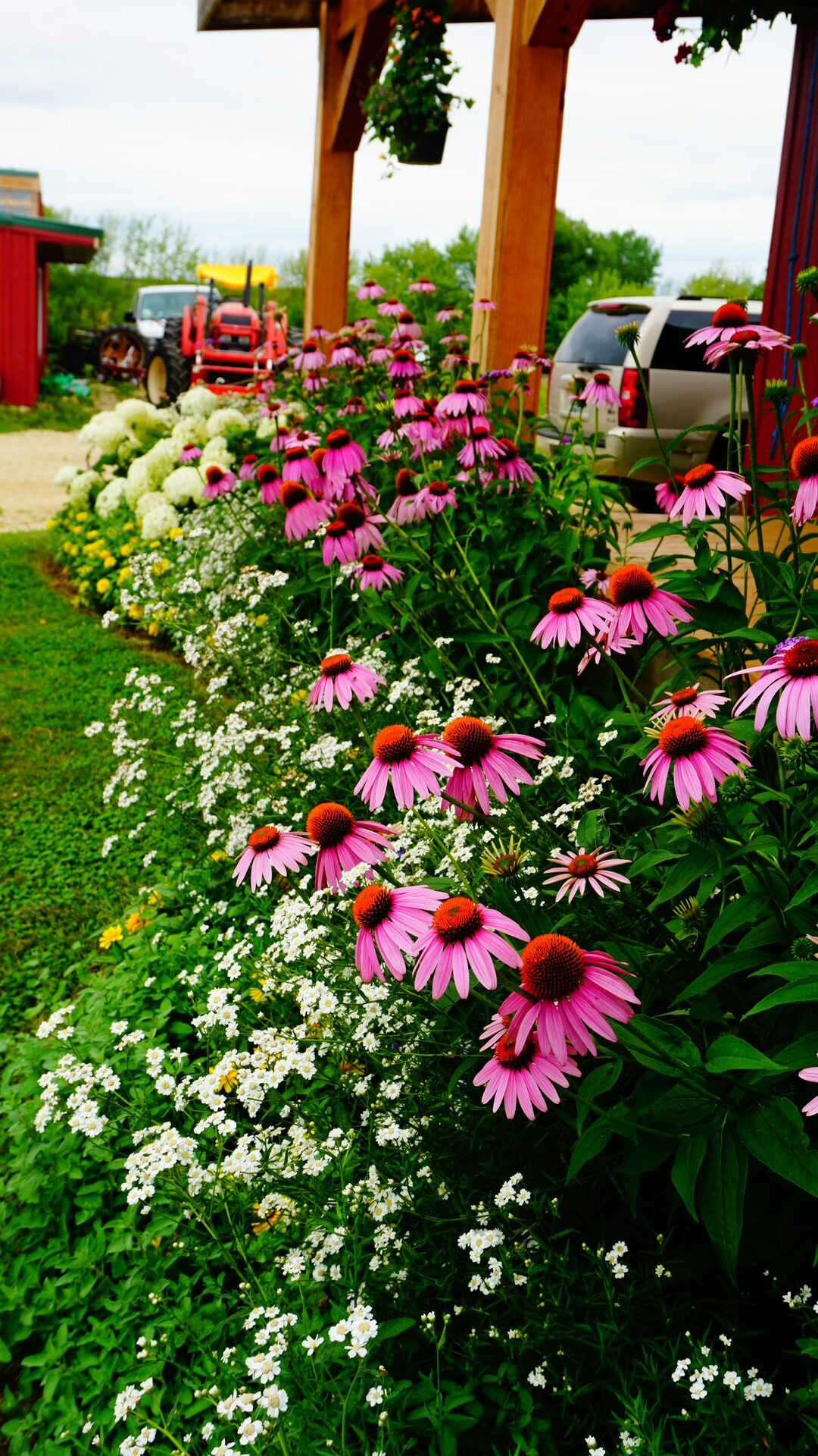 big mass of purple coneflowers
