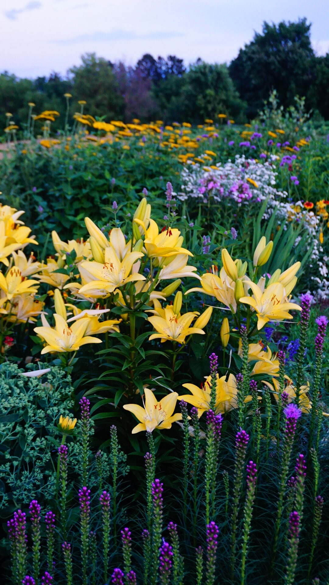 Soft yellow asiatic lilies
