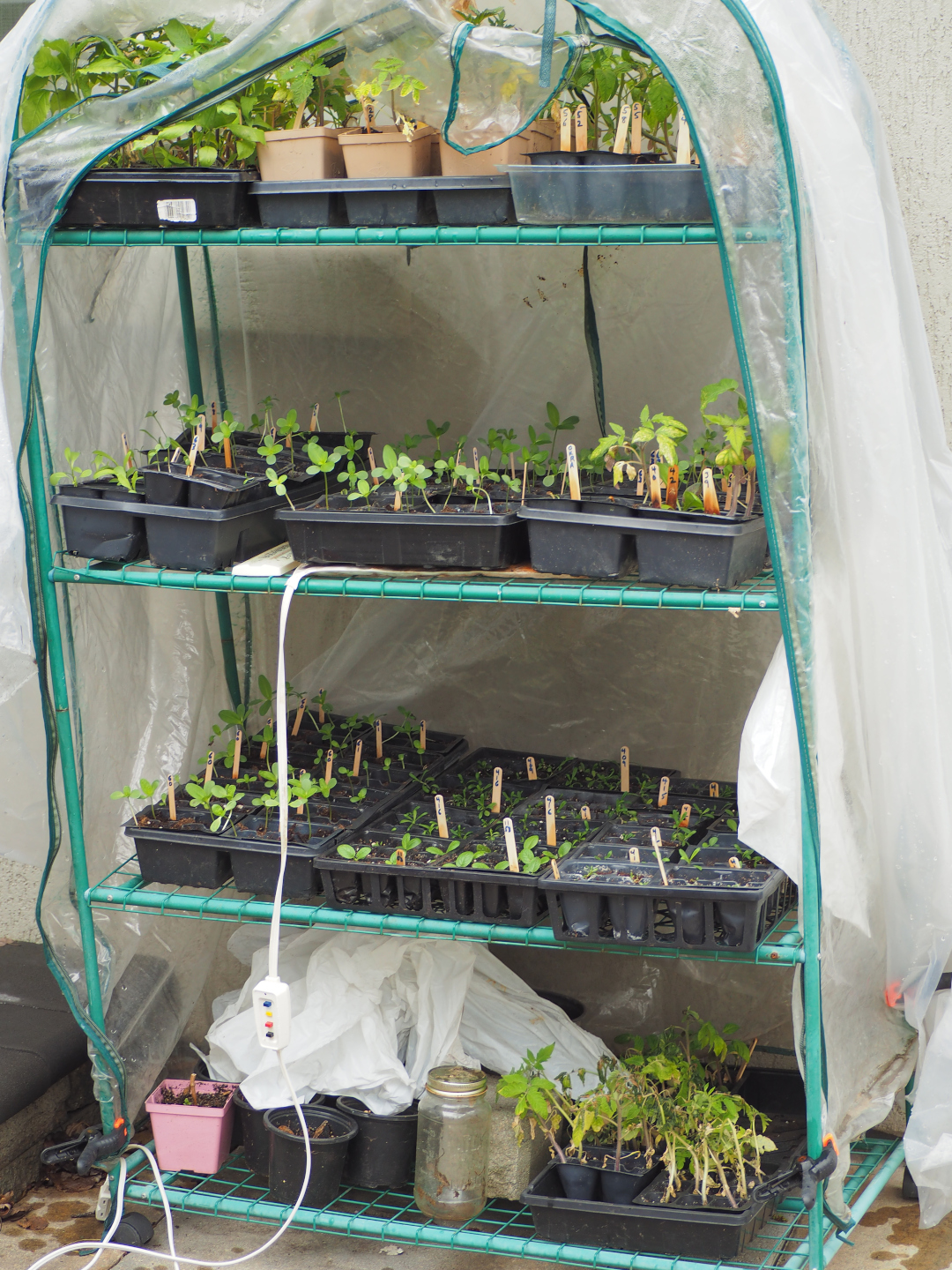 Flats of seedlings growing in a small greenhouse