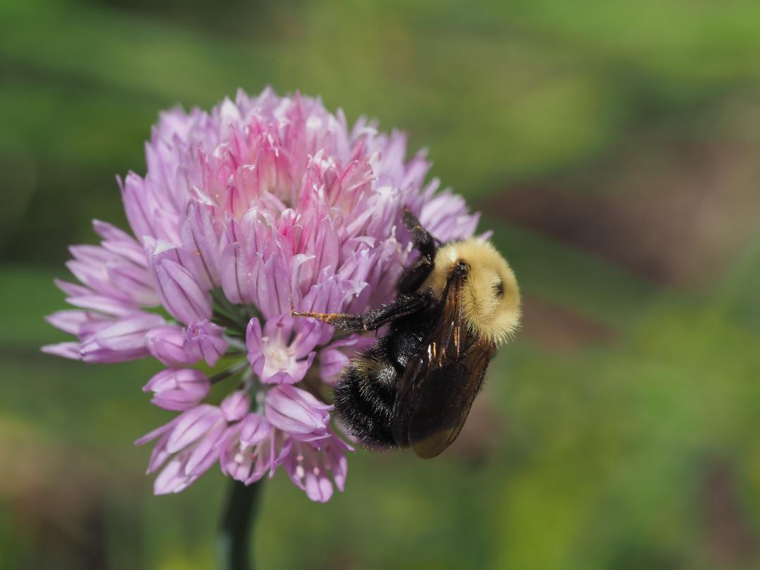 bumblebee on an Allium