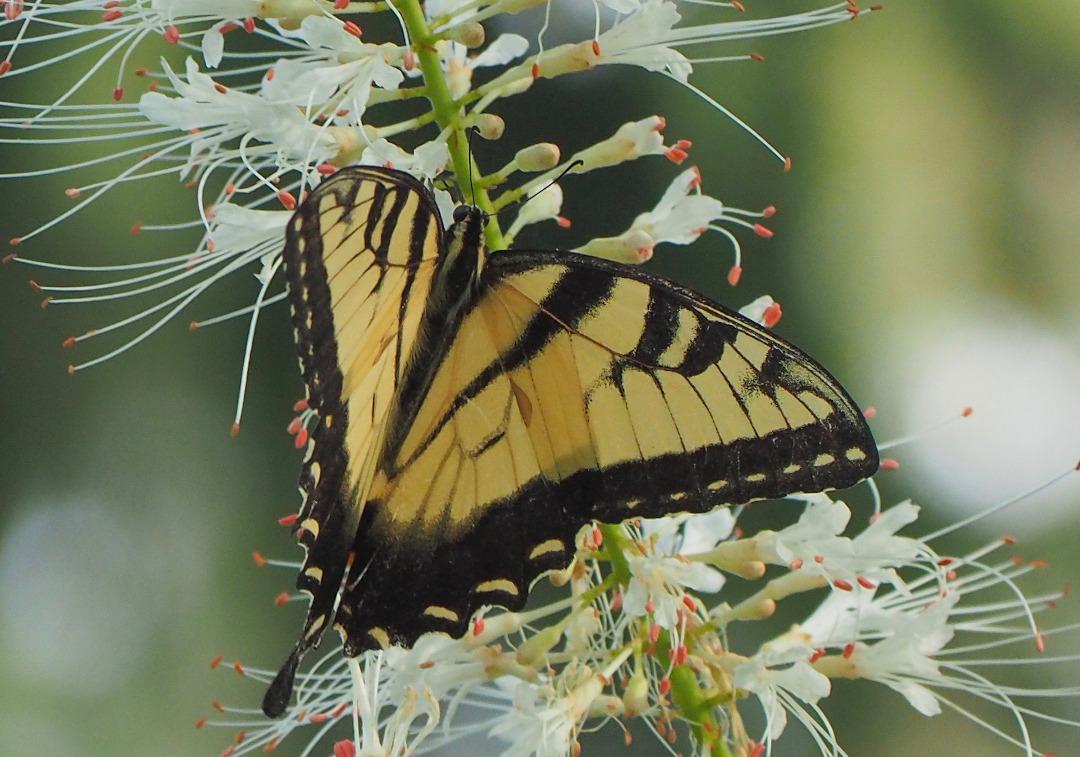 butterfly on a bottlebrush buckeye