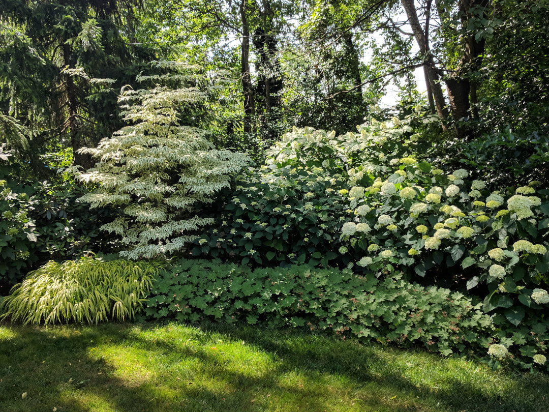 white hydrangeas in bloom