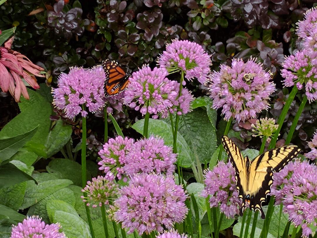 butterflies on Millenium ornamental onion