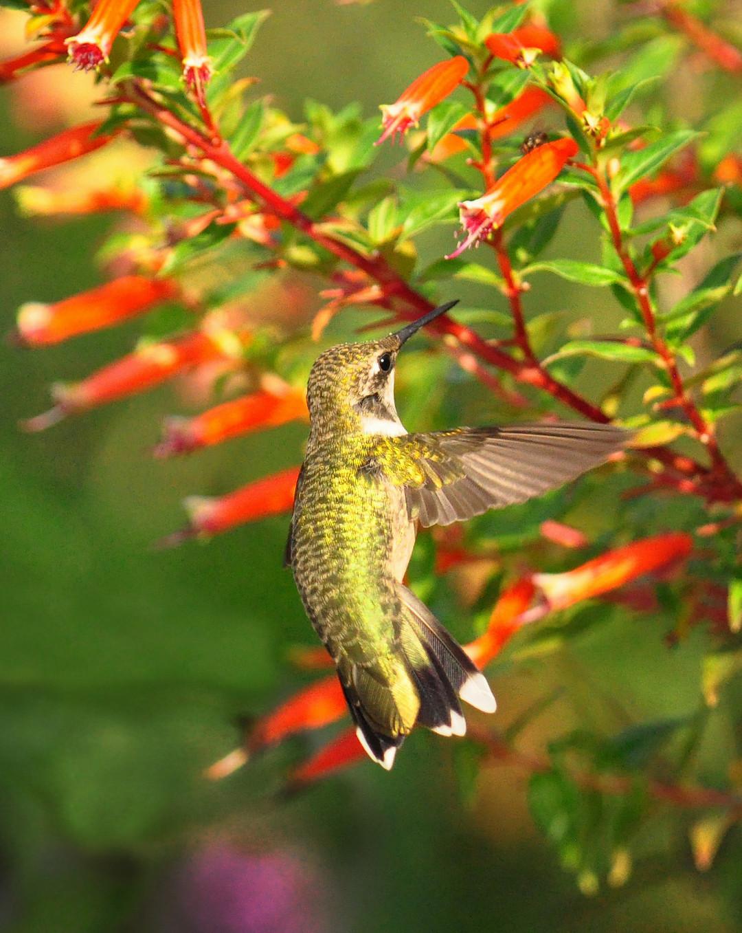 hummingbird sipping from a cigar flower