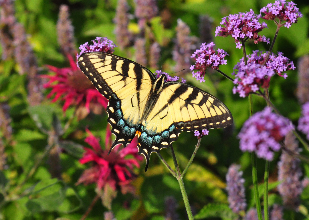 Eastern tiger swallowtail butterfly sipping at tall verbena