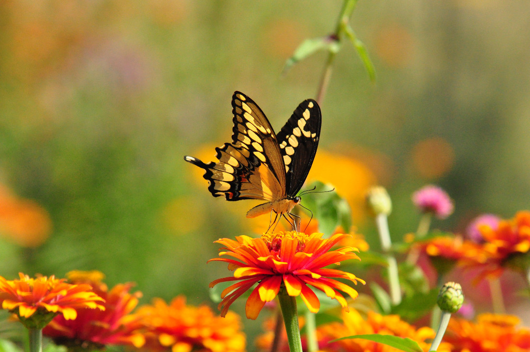 giant swallowtail butterfly on a zinnia
