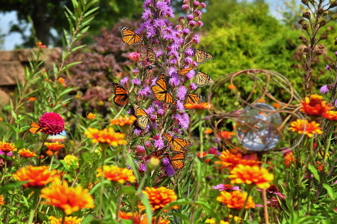 monarch butterflies on a liatris flower spike