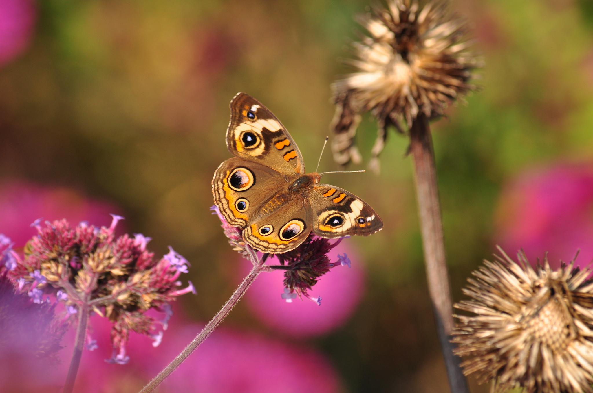 buckeye butterfly on a flower