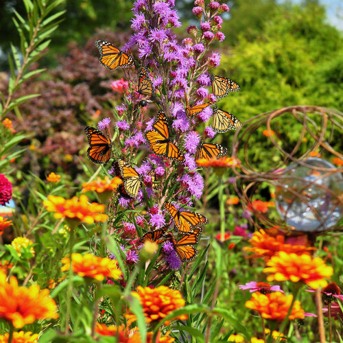 monarch butterflies on a liatris flower spike